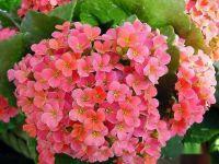 長壽花已經長花苞瞭如何養護開花